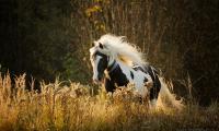 tinker-srokacz-galop-jesien-trawy.jpg